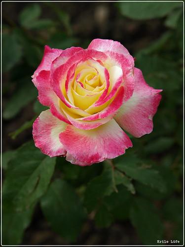 2010 士林官邸 玫瑰