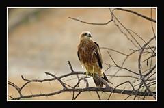 Black Kite (Milvus migrans) (Gurusan2010) Tags: birds canon milvusmigrans blackkite tamilnadu tenkasi westernghats tamilnadubirds