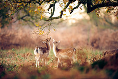mom, i can't reach! (andrew evans.) Tags: wood morning autumn trees england tree nature fairytale forest sunrise countryside kent woods nikon bokeh wildlife deer ethereal wonderland storybook magical f28 enchanted d3 400mm