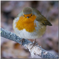 Who ate all the crumbs? (Maria-H) Tags: uk england robin cheshire nt panasonic nationaltrust dunhammassey 100300 gh2 dmcgh2