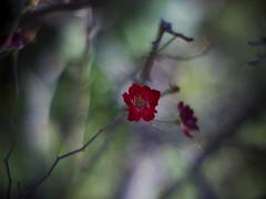_C124916 (slowhand7530) Tags: rose canon bokeh olympus ep2 095 つるばら canontv09550