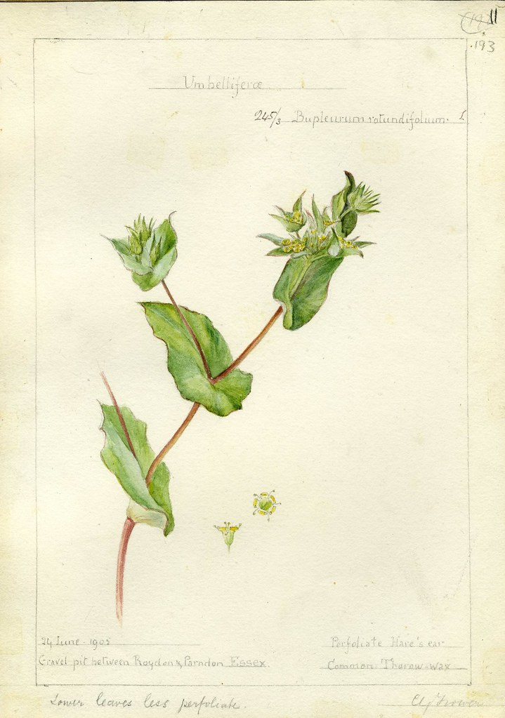 Bupleurum rotundiflorum, Essex, 1905