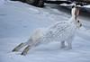 Allan stretching. 25/90² (sahlgoode) Tags: winter rabbit bunny nikon hare edmonton critter wintercoat alberta d90 hughlee 90²