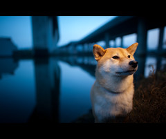 Blue Hour - 49/52 (kaoni701) Tags: sf sanfrancisco city portrait dog water night project puppy japanese bay nikon dof bokeh dusk 14 bluehour nikkor suki shibainu shiba missionbay cls shibaken  strobist d700 sb900 52weeksfordogs 24mmf14g