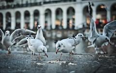 Birds of Greed! (adde adesokan) Tags: street sea water birds wasser seagull gull hamburg streetphotography olympus vgel alster vogel