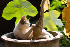 For the love of lazy sunny days (Nganguyen) Tags: paw sunlit backlit leaves green yellow cat portrait pet sunny warm funny claw tree pot plant sunbathing relax sharpen pink nose sunbath vietnam gettyimagessoutheastasiaq1