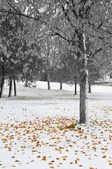 Almost winter - III (HibaHaba) Tags: autumn blackandwhite snow cold fall yellow suomi finland koivu manipulation fallen birch lumi leafs syksy selectivecolor mntyharju keltainen kylm hintofcolor kellastunut keltaisetlehdet