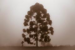 *** (let's fotografar) Tags: tree fog arvore neblina serradacantareira