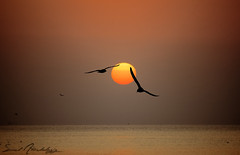 SunRise || with birds  [EXPLORED] (  || saud alageel) Tags: sea canon seagull gull 500   saud 500d  khobar alkhobar         flickraward      alageel silhuliet