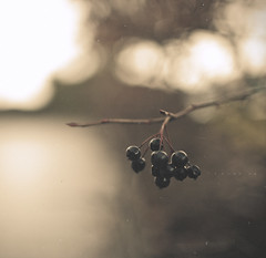 [238/365] Untitled (ng.kelven) Tags: berries bokeh 365 35mmf14 canon5dmarkii