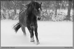 Koude wind (Foto Jan) Tags: winter horse sneeuw paard gravenallee