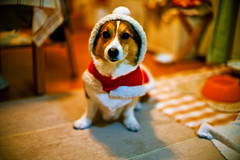 where is a stovepipe? (moaan) Tags: christmas leica dog digital 50mm outfit corgi holidays dof bokeh indoor f10 clothes livingroom utata santaclaus noctilux welshcorgi 2010 m9 explored pochiko leicanoctilux50mmf10 leicam9 gettyimagesjapanq1 gettyimagesjapanq2