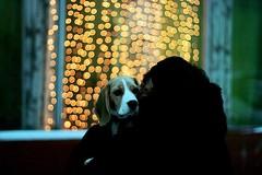 love (fuckitupnow) Tags: christmas winter beagle puppy