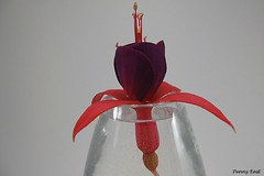 Fuchsia 'Achievement' (pennyeast) Tags: flower macro botanical fuchsia onagraceae papaalphaecho