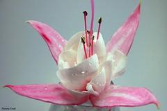 Fuchsia 'Angel Wings' (pennyeast) Tags: flower macro botanical fuchsia onagraceae papaalphaecho
