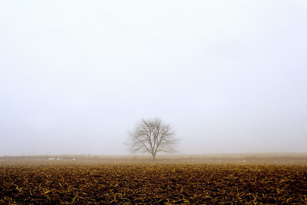 Tree in corn field with fog