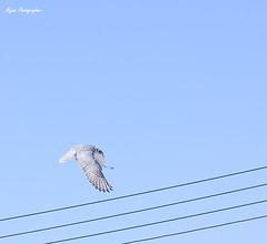 (Aljazi Al-Akoor) Tags: falcon  aljazi