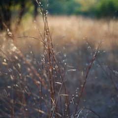Grass at Sunset ~ oscote365 77 (don j schulte @ oxherder arts) Tags: life light sunset plants sun plant nature grass weed nikon poetry poem natural bokeh earth pad 55mm grasses 365 waltwhitman highlight naturalworld project365 oscote oscote365