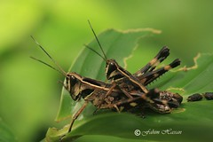 When Love is in the Air 3 (Fahim Hassan) Tags: naturaleza nature beauty canon insect natur beaut mating environment hermoso  bangladesh beau belleza environnement schnheit umwelt ambiente courtship   milieu  schoonheid             photocontesttnc11