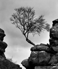 Clinging On (Wipeout Dave) Tags: blackandwhite lumix rocks stones nationaltrust northyorkshire rockformations brimhamrocks outcrops lonesometree wipeoutdave