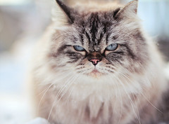 Tinkerbelle in the snow (Shandi-lee) Tags: winter pet snow cute nature animal cat fur outdoors mix blueeyes january kitty whiskers himalayan catinsnow
