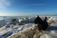 Rasmus looking at the swans (Lars Odemark) Tags: winter sweden swans rasmus helsingborg resund