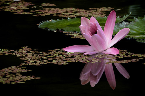 Ninféia-rosa   (Nymphaea rubra)  -  Red Water Lily