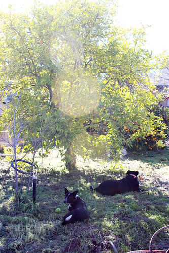 dogs in the shade