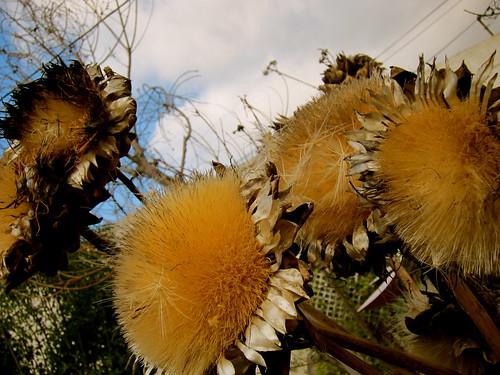Dried artichoke booms - winter garden