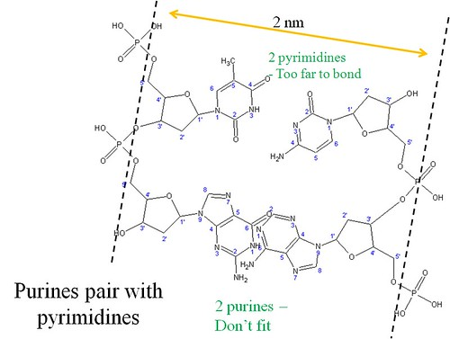Why purines pair with pyrimidines