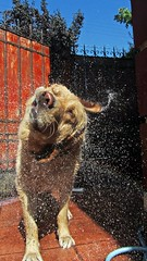 Apolo After Taking a Bath (grasslich) Tags: dog pets dogs water perro hund perros inu iluvmydog