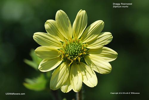 Mohr's Rosinweed, Shaggy Rosinweed - Silphium mohrii