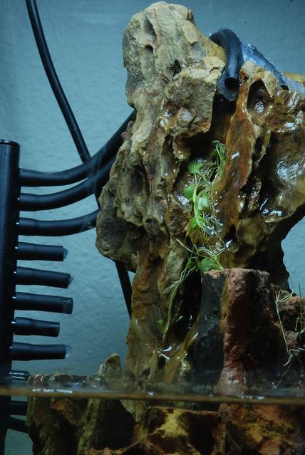 Utricularia nephrophylla Setup Progress 4