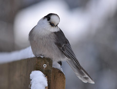 Grey on the deck rail (drduct) Tags: trees snow ontario north greyjay