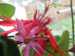 Passiflora perfoliata, vitifolia (A Botanical Wonderland (Million+ views)) Tags: passiflora maracuja perfoliata vitifolia