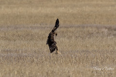 Red-tailed Hawk attacks Jackrabbit - Sequence - 2 of 8