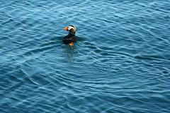 PUFFIN IN ALASKA (dig dave) Tags: alaska puffin bird water blue swim outdoor