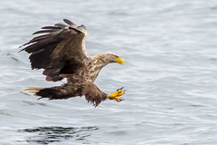 Wild Sea eagle, Skye (sophiaspurgin) Tags: sea eagle predator water talons hunting skye scotland uk bird