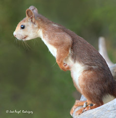 ARDILLA MIRONA (Jose Angel Rodriguez) Tags: naturaleza fauna squirrel wildlife hide granada fotografia posando ardilla mirando redsquirrel baza sciurusvulgaris mamifero supershot mirona sierradebaza specanimal ardillaroja flickrdiamond parquenaturalsierradebaza coth5 joseangelrodriguez