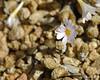 Conophytum lithopsoides ssp. koubergensis (Martin_Heigan) Tags: life camera flowers plants white flower macro nature digital southafrica flora nikon close desert martin dry photograph flowering d200 dslr kalahari rare arid springbok ssp cono namaqualand vetplant suidafrika pofadder 60mmf28micro conophytum heigan semidesert vetplante wsnbg mhsetsucculents mhsetflowers lithopsoides notherncape namakwakand 22january2011 koubergensis