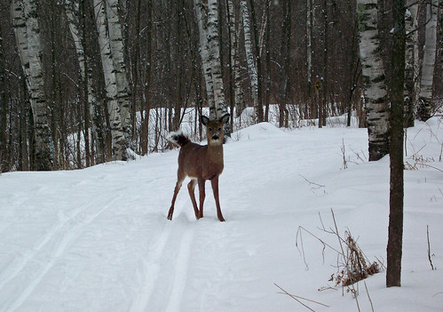 Deer on Ski Trail