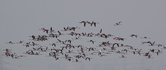 Flamingoes in Flight (Jerry011) Tags: india flamingoes jetty flight mumbai sewri flamingoe