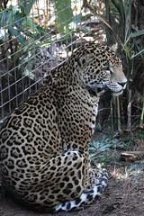 Jaguar-Lebron, Male (gardengirlpa) Tags: bigcats jaguars brevardzoo flickrbigcats
