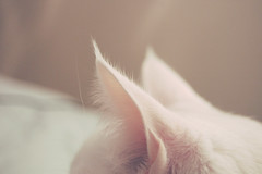 the cutest fuzzy ears in town (somanycupcakes) Tags: kitty greeneyes whitecat sebastien
