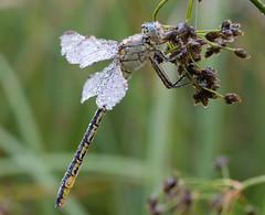 Gomphus pulchellus (Johannes D. Mayer) Tags: nature deutschland dragonfly wildlife insekten odonata libellen coth westernclubtail gomphuspulchellus flickraward westlichekeiljungfer mygearandme aichtalaiches