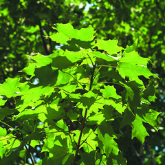 Maple Leaves in Summertime
