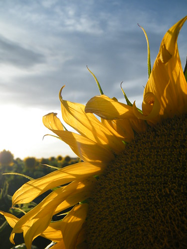 Sunflower Petals by katiemetz, on Flickr