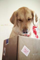 {2/3/11} Sweet Temptation Valentines Delivery (VeryViVi) Tags: dog love goldenretriever canon post valentine romance gift stanley 7d surprise present 365 package sentwithlove missvivigold veryvivi