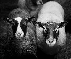 frasknkorna (heddar) Tags: blackandwhite cute animals sheep fr djur