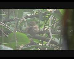 Turdus grayi (Clay-colored Thrush; Clay-colored Robin) (Arthur Chapman) Tags: costa birds video aves turdus inbio claycoloredrobin turdusgrayi grayi santodomingodeheredia taxonomy:order=passeriformes taxonomy:class=aves taxonomy:kingdom=animalia taxonomy:phylum=chordata taxonomy:family=turdidae taxonomy:genus=turdus claycoloredthrush geocode:accuracy=200meters geocode:method=googleearth geo:country=costarica taxonomy:common=claycoloredrobin taxonomy:common=claycoloredthrush taxonomy:binomial=turdusgrayi geo:region=centralamerica